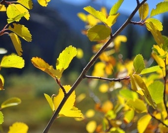 Fall Leaves, Yellow Leaves, Fall colors, Landscape