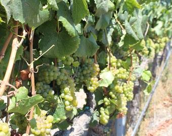 Napa Valley artwork/ photograph/ Vineyards in Napa Valley, California/ wine artwork/ wine decor