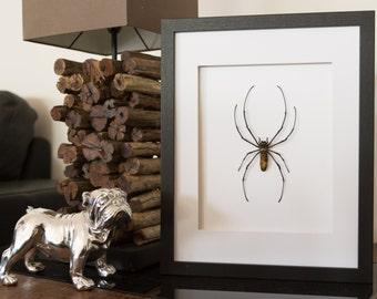 Real Giant Orb Weaver Spider Framed