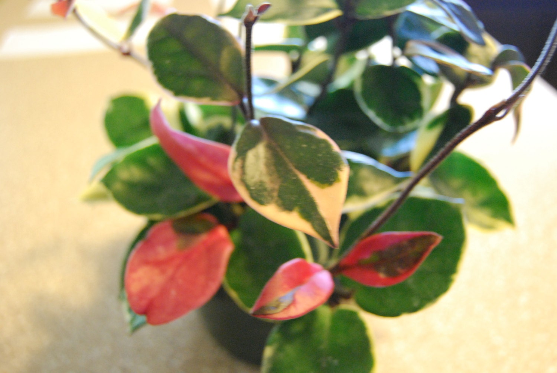 Hoya Carnosa Tri Color Wax Succulent Unique Plant Pretty