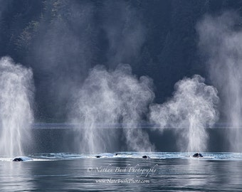 Synchronized Swimming - Four Humpback Whales near Gustavus Alaska