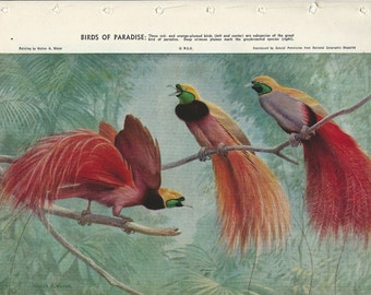 Birds Of Paradise Vintage Book Plate - 1957 / Vintage Illustration / Birds / Bird Of Paradise