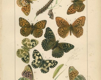 Antique Butterfly Print, Fritillary, Silver Washed, Marbled White, 10, 1895, Lepidoptera, Natural History, Kirby, Kappel, Deuchert, Slocombe
