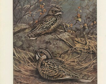 Nuttall's Poorwill, Merrill's Pauraque, Vintage Bird Print, Brooks Ornithology 48, 1939, Forest Cabin Decor, Country Cottage Decor