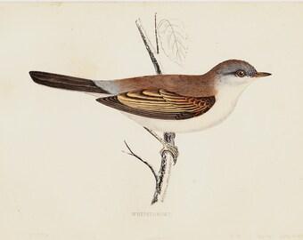 1865 Antique BIRD print of a Whitethroat. Original antique hand colored print