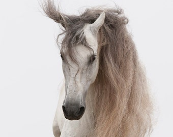 White Stallion Jumps II - Fine Art Horse Photograph - Horse- Andalusian - Fine Art Print