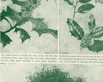 Vintage Botanical Print Antique HOLLY TREE LEAVES, plant photogravure print botanical print, bookplate art christmas plants plant wall