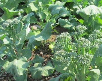 Broccoli Raab Heirloom Broccoli Seeds Spring Rapini Turnip Broccoli Non GMO