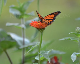 Monarch Photograph Butterfly zinnea flowers orange black green butterflies monarchs Home Office Wall Decor Fine Art Photography wings flower