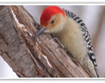 Iphone Case , Fine Art Photography, iPhone 4/4s, iPhone 5/5s, iPhone 6,  New England Birds, Red Belly Woodpecker