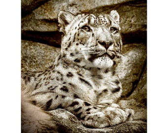 Sepia Snow Leopard Print, Nature Photography, Animal Photo, Wild Cat,  Zoo, African, Fine Art Photography, 5x7, 8x10, 11x14