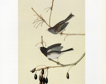 Vintage Audubon Bird Print Dark Eyed Junco C. 1960 Vintage Decor