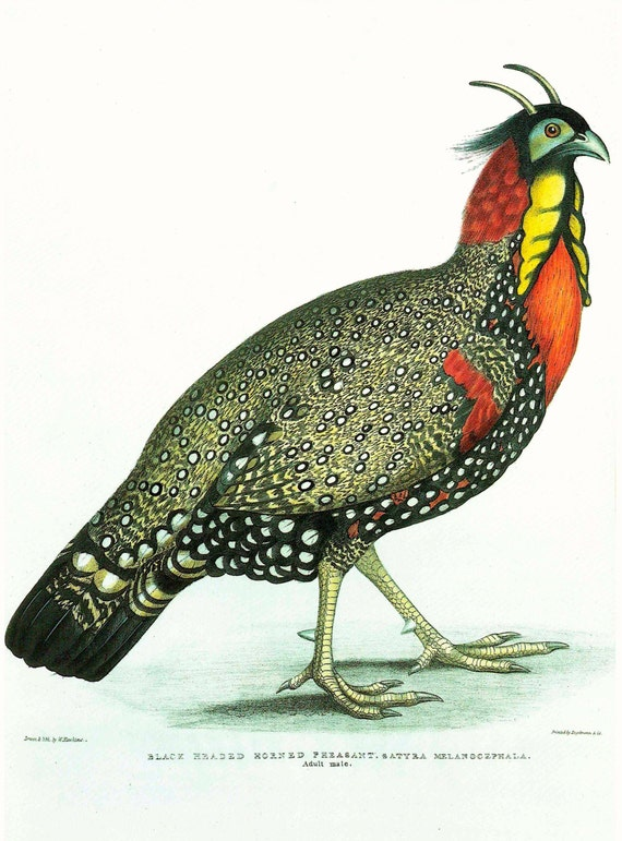 Large bird print of Black Headed Horned Pheasant from hand coloured lithograph by W Hawkins, matted for framing, 11 x 14 inches, 1990