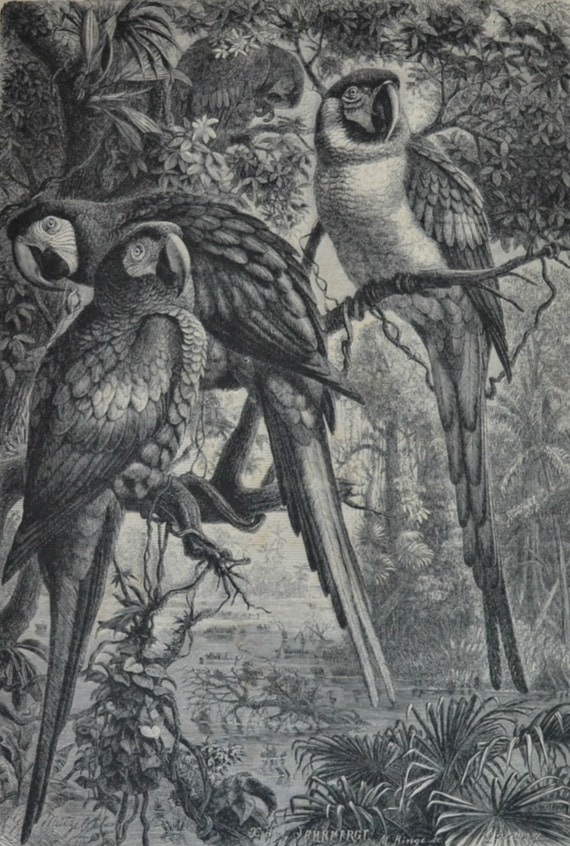 Macaws print. Birds. Natural history engraving. Antique illustration 124 years old. 1890 lithograph. 9 x 12'3 inches.
