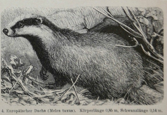 Mustelidae illustration. Weasels print.  Zoology. Natural history engraving. Old book plate,1901.  114 years lithograph. 6'2 x 9'8  inches.