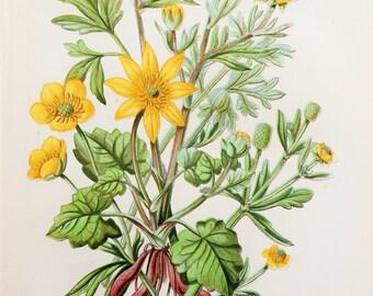 Anne Pratt Antique Botanical Print - Crowfoots, Buttercup, Celandines (6)