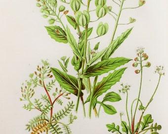 Anne Pratt Antique Botanical Print -  Penny Cress, Shepherd's Purse, Hutchinsia, Teesdalia (15)