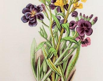 Anne Pratt Antique Botanical  Print -  Wallflower, Stocks (27)