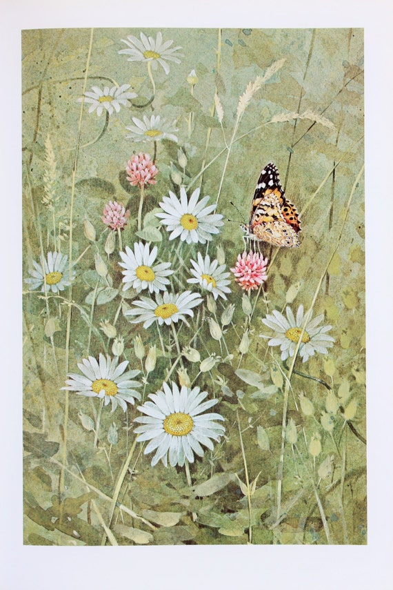 Vintage Butterfly Print  Painted Lady on Ox-Eye Daisies by Richard    Vintage Butterfly Print