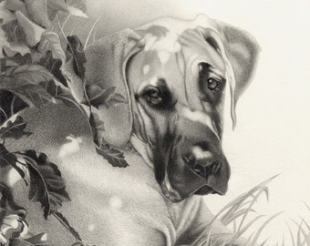 Great Dane Drawing - Mounted print of original pencil drawing