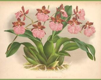 antique french botanical print pink orchid odontoglossum uro illustration DIGITAL DOWNLOAD