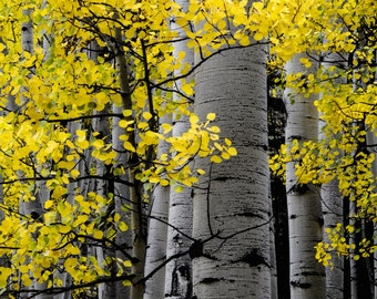 Aspen Trees Golden Fall Colorado Autumn Aspen Forest Leaves Foliage October Yellow Rustic Cabin Lodge Photograph
