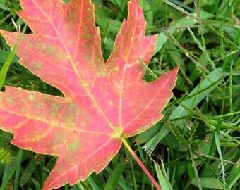 First Fall Leaf