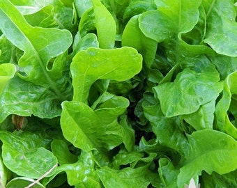 Green Oak Leaf Lettuce Heirloom Seeds - Non-GMO, Open Pollinated, Untreated