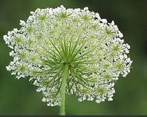 The Queen Anne's Lace Seeds, Daucus carota, Herb, Wildflower, Wild Carrot, Vegetable Root