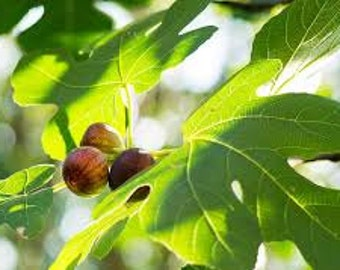 Turkish Fig Seeds, Ficus carica, Fruit, Tree, Perennial Plant