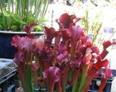 Carnivorous plant Sarracenia hybrid 'Judith Hindle' bare root dorment rhizome