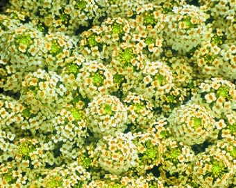 100 Seeds Alyssum Cheers Yellow GROUND COVER