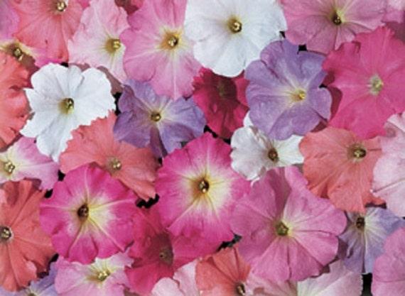 Petunia Celebrity Mix F1   Spectactular Flowers ...
