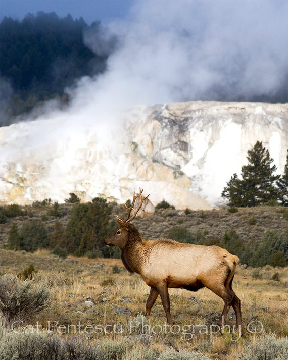 PRINT: Nature Photography Wildlife Photography Elk by ...