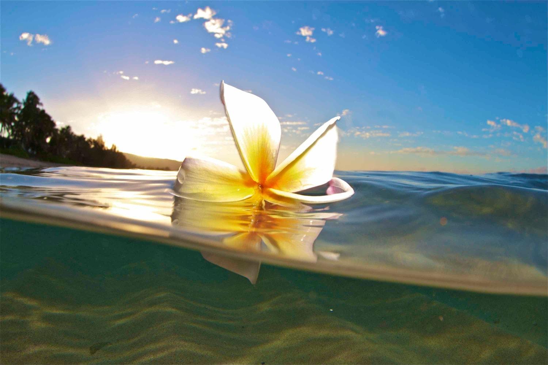 Hawaiian water plumeria danceunderwater flower zoom dhlflorist Gallery