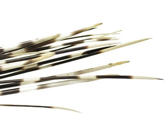 African Porcupine Quills 9-11"