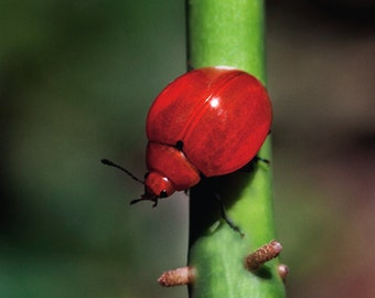 Red beetle photographed in Costa Rica