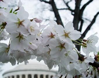 Jefferson Blossoms, Washington, D.C.