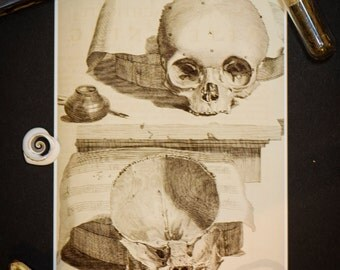 Human Skull Anatomical Illustration: Vintage 5X7 Print