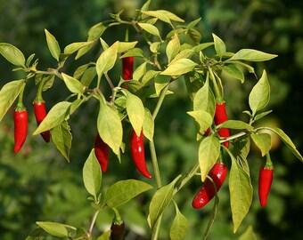 "1 Cayenne Hot Pepper live plant 5"""