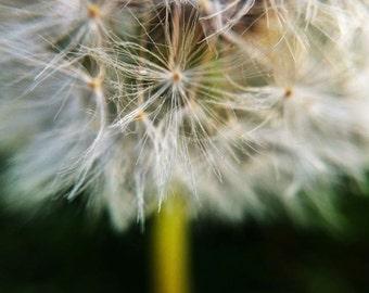 """Just blow ... Dandelion Archival Photograph - 6x6"""", 8x8"""", 10x10"""" - Watercolour Paper"""