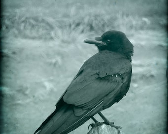 Blue Monochrome Crow Photograph--You Lookin at Me?--Fine Art