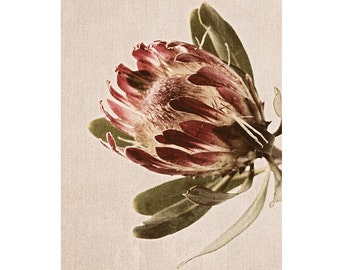 Protea Flower Decor,  Fine Art Print, Rustic Decor, Floral Print, Flower Photography, French Country Decor