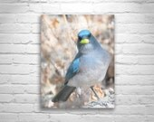 Blue Bird Art Print, Nature Photography, Pastel Art, Jay Bird, Madera Canyon, Bird Wall Print, Bird Photography, Violet