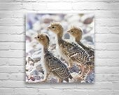 Baby Quail Photograph, Wildlife Art, Quail Picture, Bird Art, Nature Photography, Quail Image, Wall Art Birds, Square Art, Square Picture