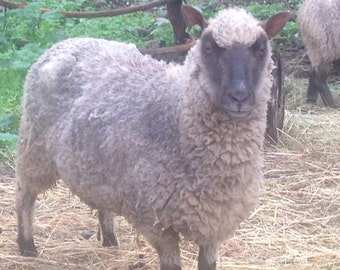 ADOPT a  CLUN FOREST Sheep club- for 3months of yarn
