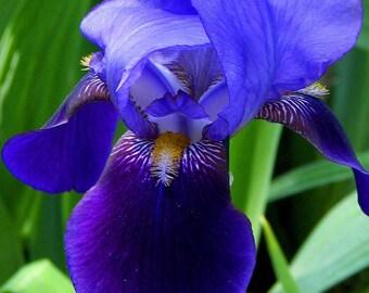 Purple Bearded Iris #3 Greeting Card