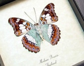 Real Framed Moduza Procris The Commander Butterfly  705