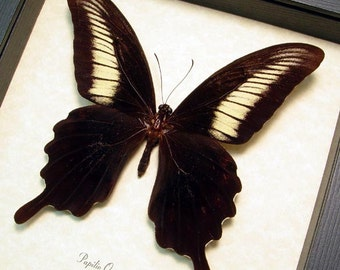 Real Framed Papilio Oenomaus Butterfly 8252
