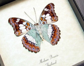 Real Framed Moduza Procris The Commander Butterfly Shadowbox Display 705